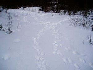 Criss-crossed wolverine tracks in snow