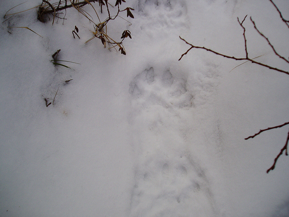 Wolverine pawprint in snow. Photo by Jill Seaton.